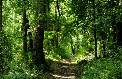 Worn path weaving through a forest full of mature green trees with sunlight shining in
